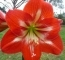 Amaryllis Hippeastrum Striped Red/white